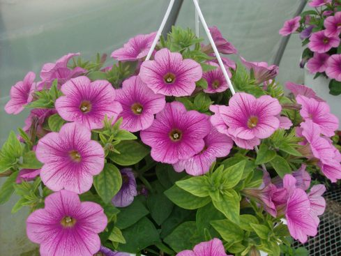 """We have petunia baskets, 4"""" pots, and 4-packs."""